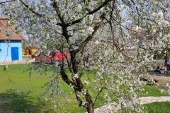 Pomi infloriti
